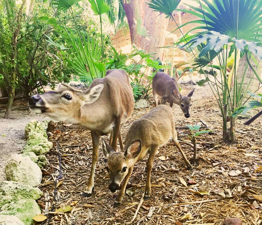 Some of the incredible Keys Deer you'll see at Little Palm Island and Little Palm Island Resort, along side other Florida Wildlife